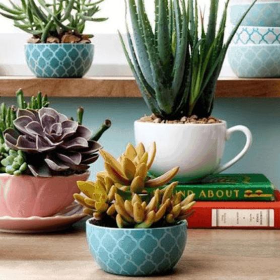 Succulentes colorées